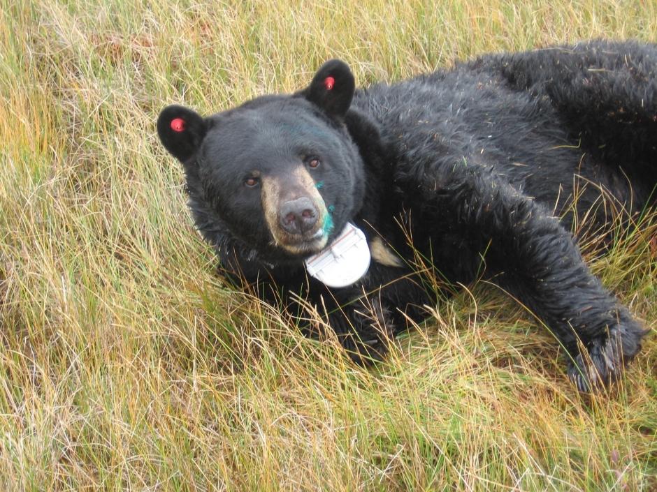 collared bear