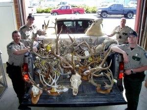 poaching_antlers