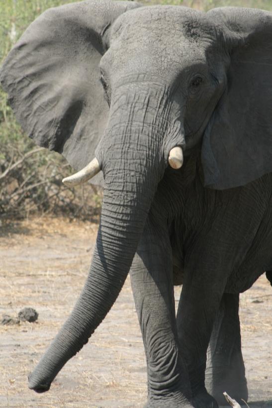 botswanabull12