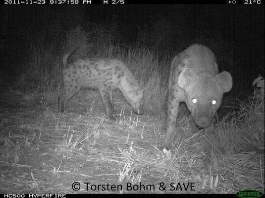 Hyenas_Torsten Bohm