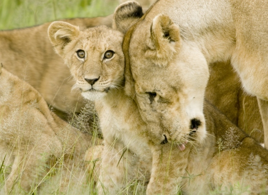 Lion_cub_with_mother