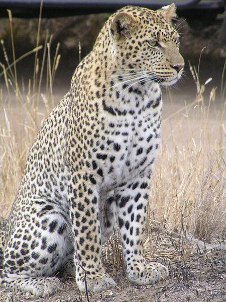 Leopard_africa