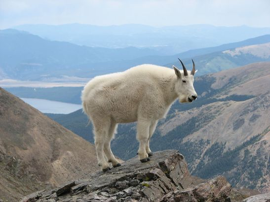 Mountain_Goat_Mount_Massive