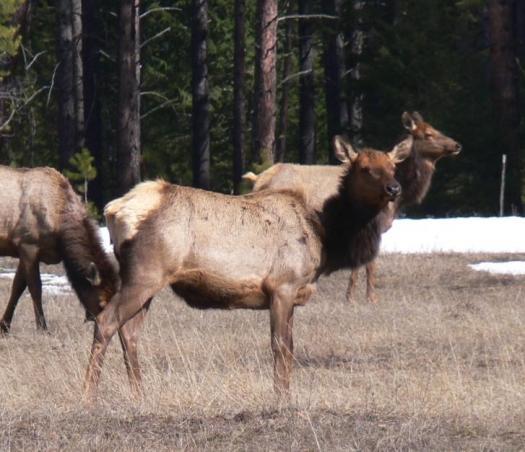 Bitterroot Elk_ProjectRe1