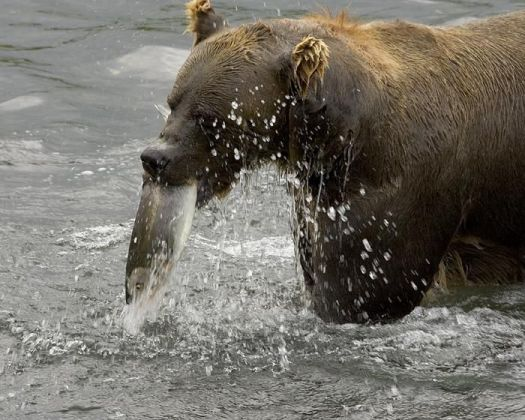 Brown_bear_eating_fish_in_river