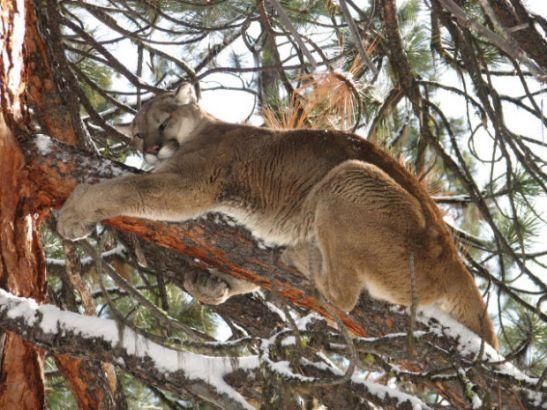 mountain lion1