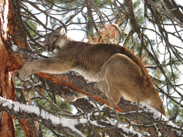 New Mexico's Controversial Mountain Lion Legislation