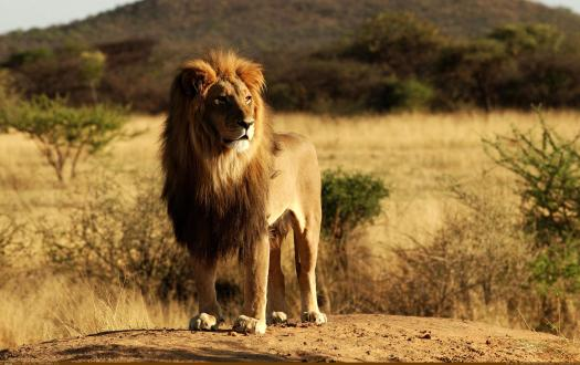 lionpic3