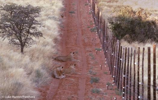 0306.LH-Lion-Fences31-b.568