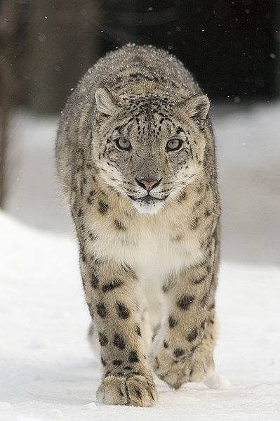 snowleo