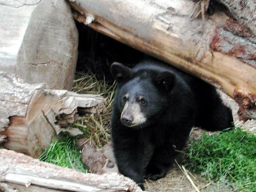 800px-Black_bear_in_cave