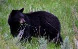 Black-Bear-Blog