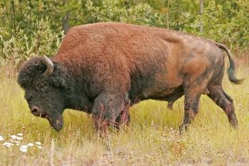 Liard Wood Bison, Near Coal River, British Columbia