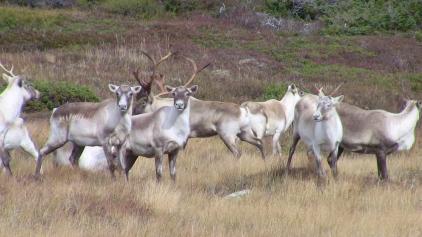 caribouheard