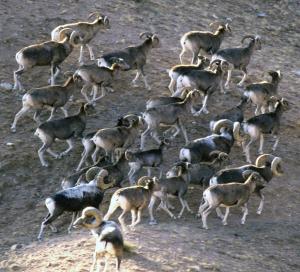 Argali Sheep_Mongolia_Frisina