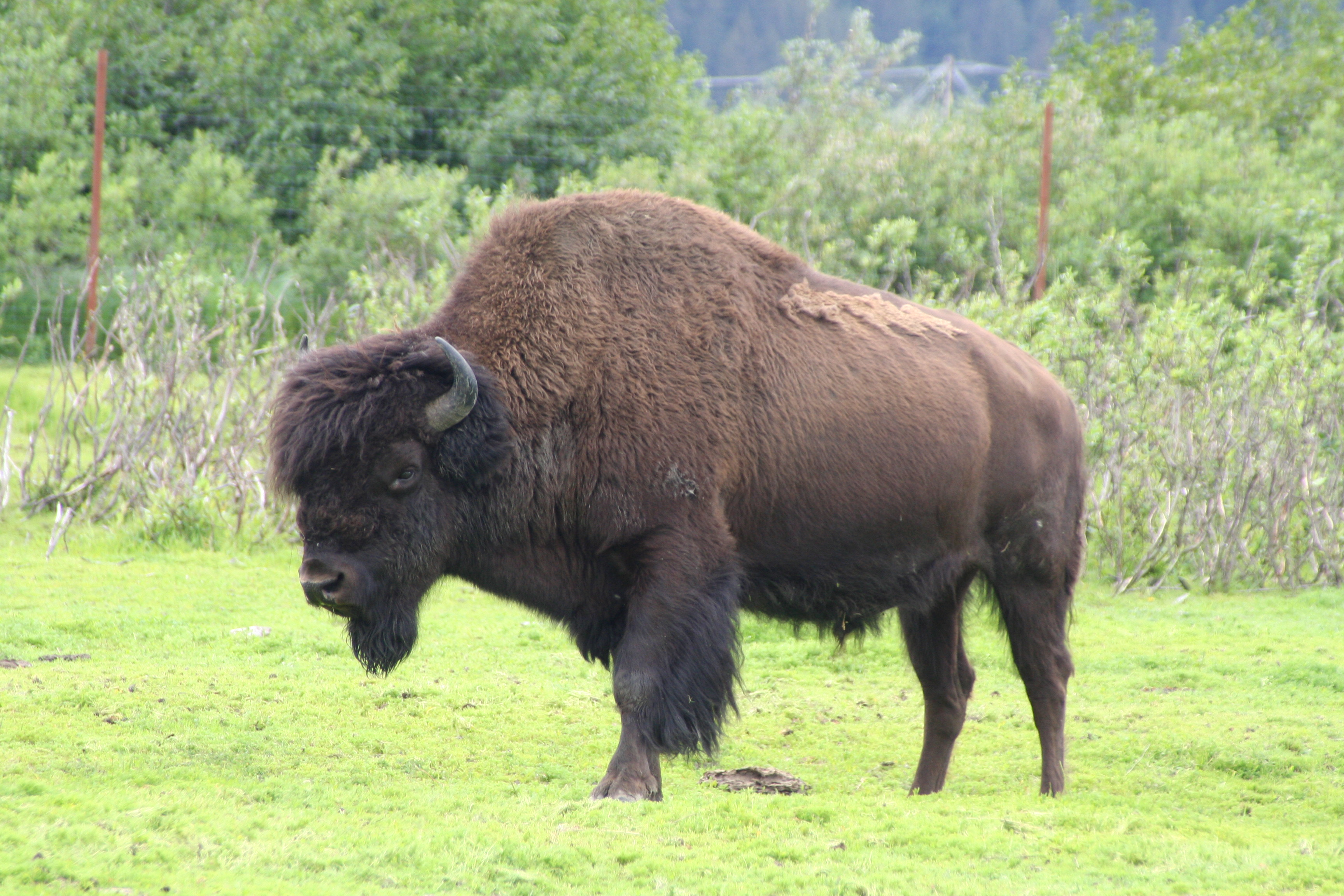 Opinions On Wood Bison