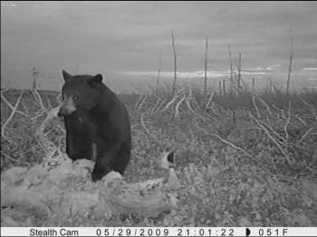 Bear on Caribou