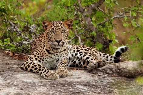 Sri Lanka Leopard