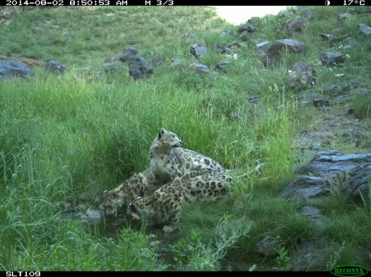 Snow Leopard mother and two cubs. Nemegt, South Gobi, Mongolia. August 2014.