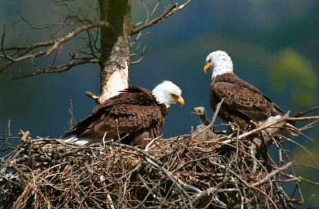 bald-eagles-with-chick