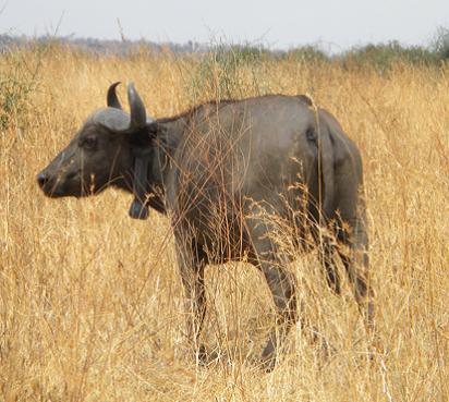 buffalo updae2