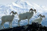 Alaska. Alaska Range. three Dall sheep rams below Mt Foraker