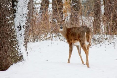 deer-in-the-woods-2