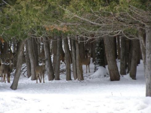 deer in yarding complex