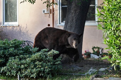A black bear weighing over 400 lbs. strolls through a front yard of a home on 2300 block of Mayfield Avenue in La Crescenta.