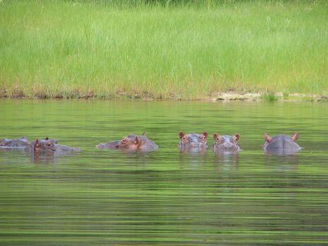 hippo2