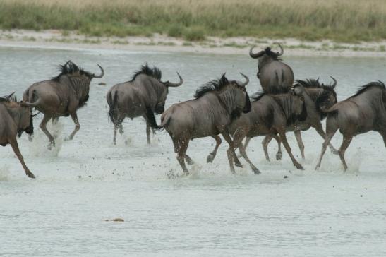 Blue wildebeest, Namibia