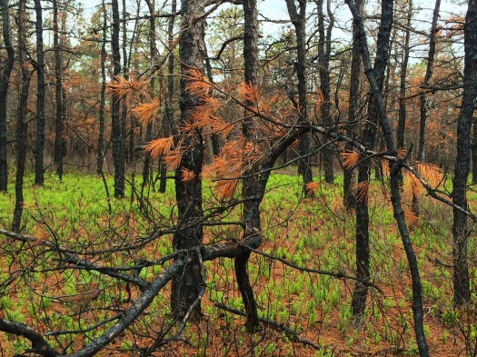 Burnt_Pitch_Pine