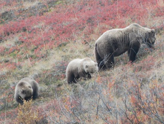 800px-Grizzly_Bear_foraging