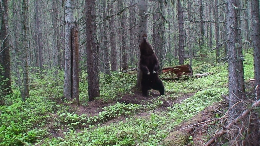 Grizzly_bear_rubbing_on_a_tree_(Northern_Divide_Grizzly_Bear_Project)_(4428171412)