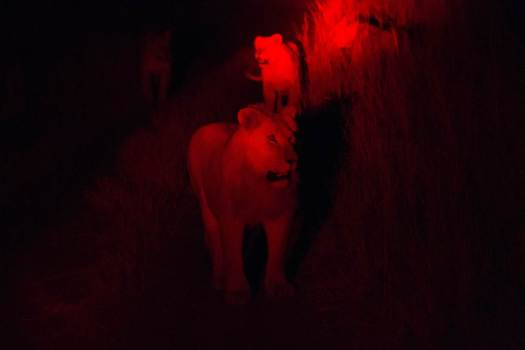 Lions seen from a infrared camera