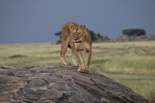 lion TA