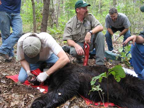 Missouri bear 1