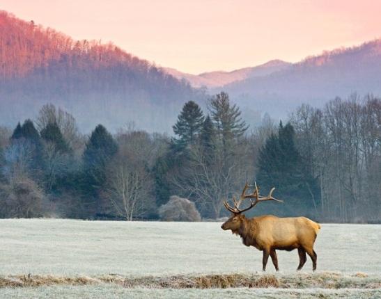 NC Elk
