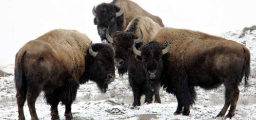 bull-bison-near-soda-butte-peaco_1