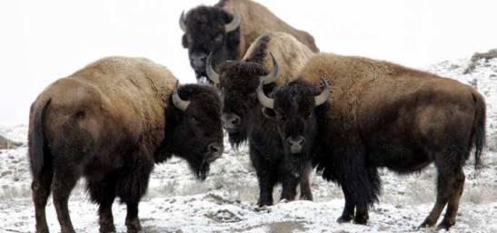 bull-bison-near-soda-butte-peaco_1