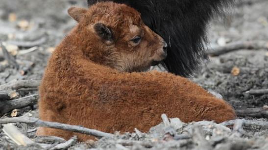 new born calf.jpg
