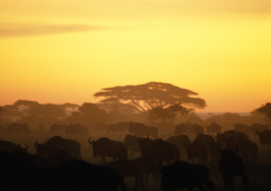 Wildabest Herd with Color Theme_SCI Intranet.jpg