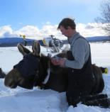 mfwp-moose-report-2016
