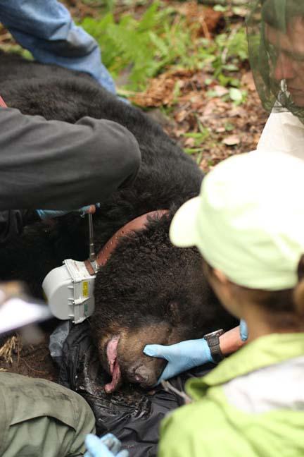 GPS Collard Black Bear
