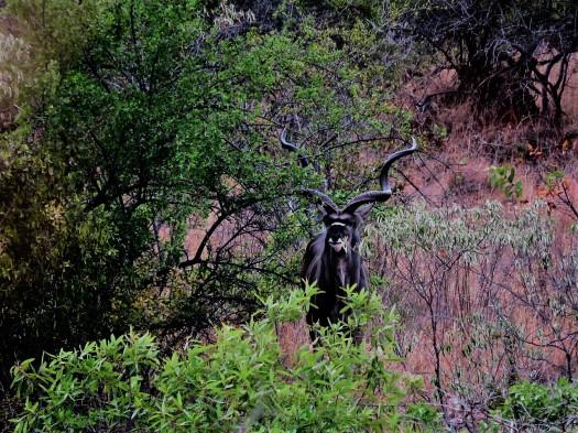 kudu bull karamoja