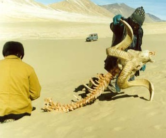 Pamir Argali Survey_2002 skeleton