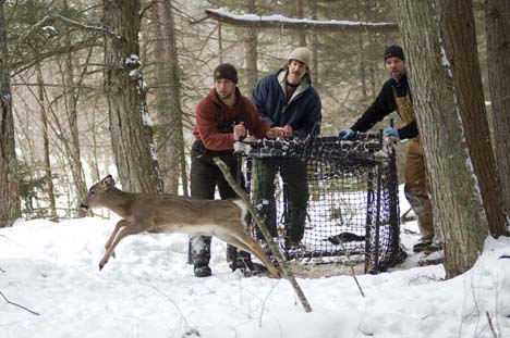 Releasing a Male Fawn