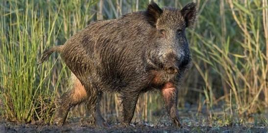Wild-Hog-630x315