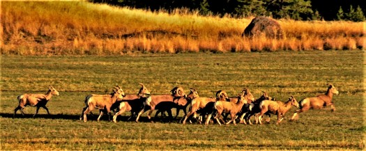 Bighron Sheep Sprint