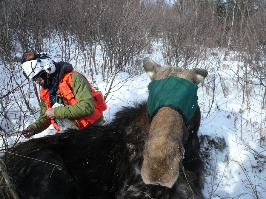 Vermont Awarded $50k to Study Moose